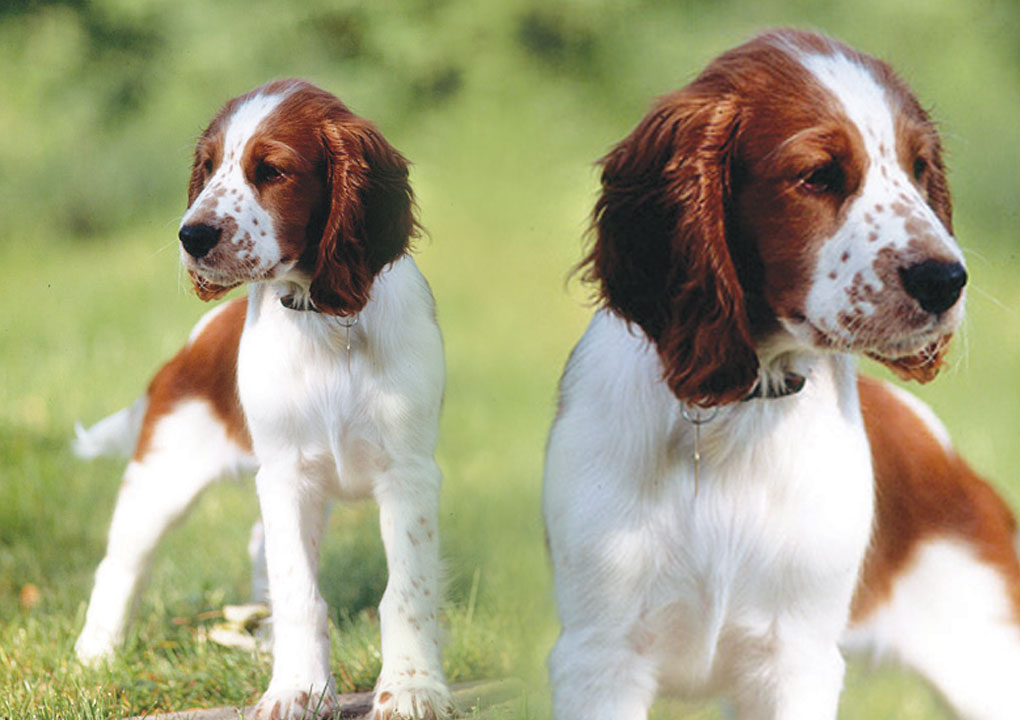 Upland Creek Springer Spaniels About