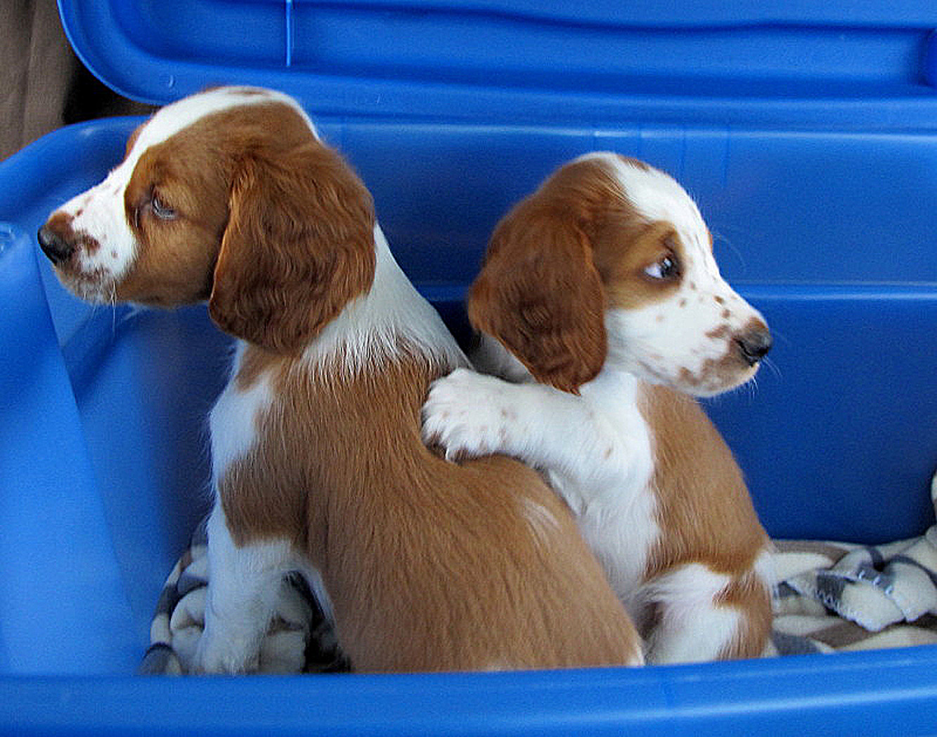 Our Puppies - Upland Creek Springer Spaniels
