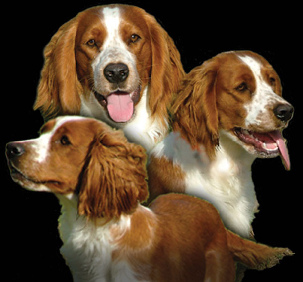About The Welsh Upland Creek Springer Spaniels